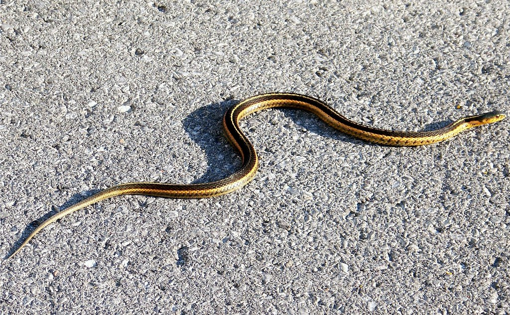 Garter snake on asphalt   Unable to move very fast on such ...