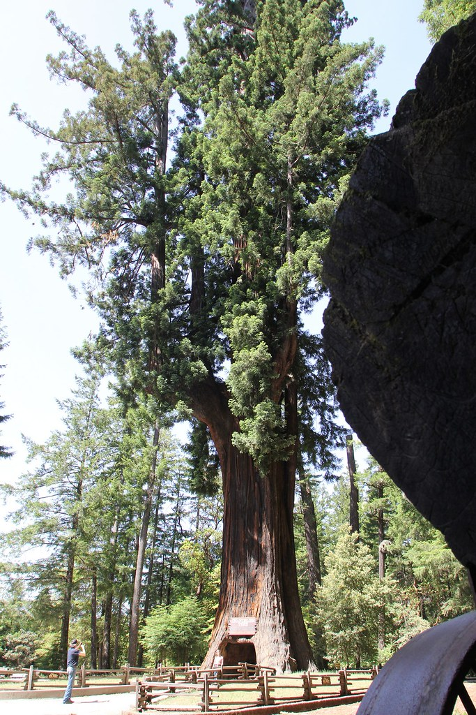 Leggett california drive thru tree park chandelier tre for Chandelier bois flotte
