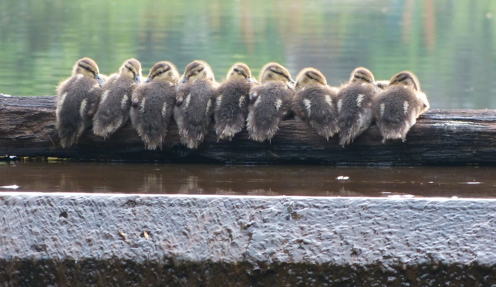 New Jersey >> Baby Ducks on a log | Getting your ducks in a row More bird … | Flickr