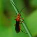 Aleiodes politiceps, Mummy Wasp