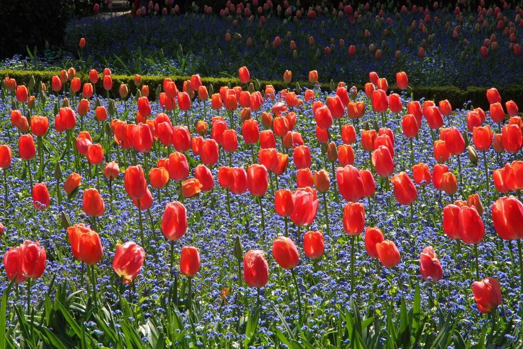 Filoli Garden Tulips Are In Full Bloom At Filoli Calwhiz Flickr