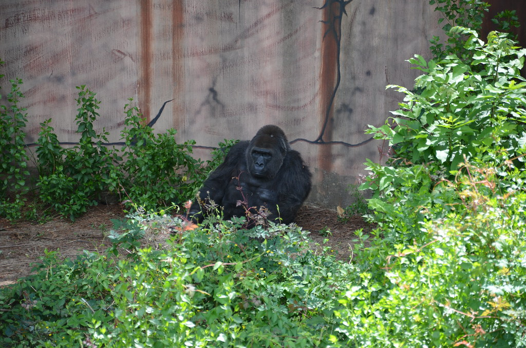 Little Rock Zoo  Little Rock Arkansas  Gorilla  Dustin