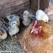 Lokey and her chicks 2 - FarmgirlFare.com
