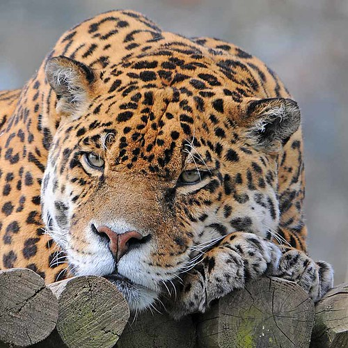 Jaguar 0412 6365a | by Ross Elliott