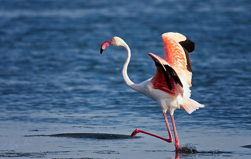 Greater Flamingo (Phoenicopterus ruber) | by ALi AL-Qudsi
