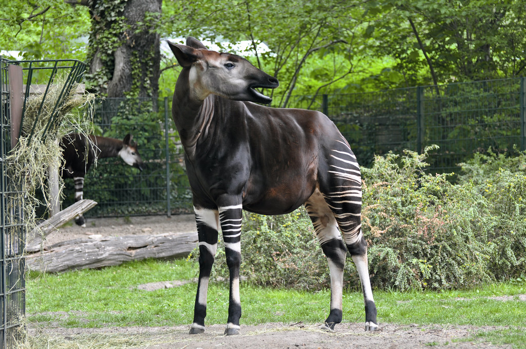 okapi okapi okapia johnstoni zoo berlin germany conserv flickr. Black Bedroom Furniture Sets. Home Design Ideas