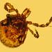 Tick carrying spirochetes