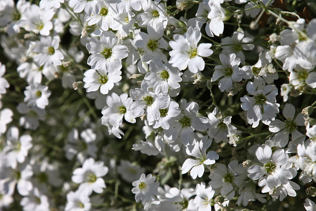 Pictures of white flowers and their names names of small white flowers pictures to pin on pinterest mightylinksfo