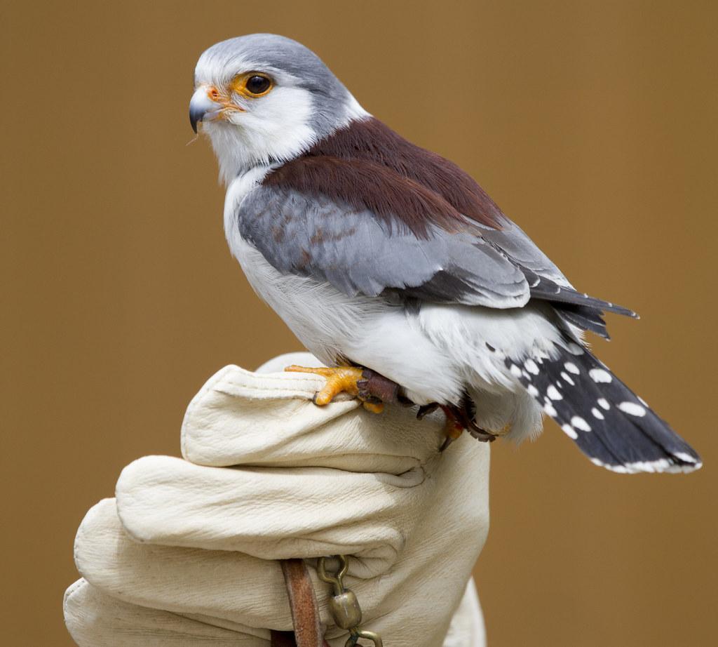 Pygmy Falcon Nathan Rupert Flickr