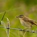 Sedge Warbler - Frampton Marsh