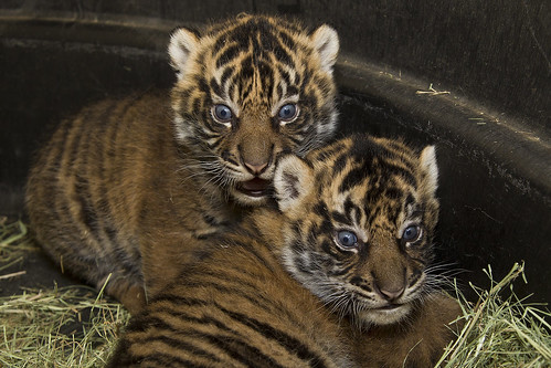 Sumatran tiger cubs | by San Diego Zoo Global