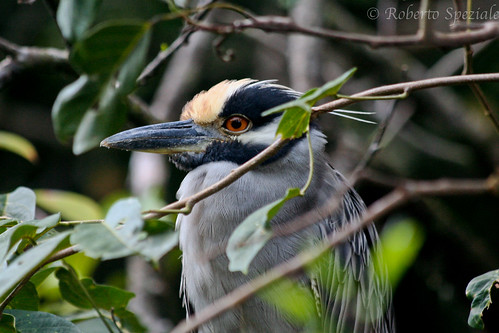 Yellow-Crowned Night-Heron | by 3 Africa