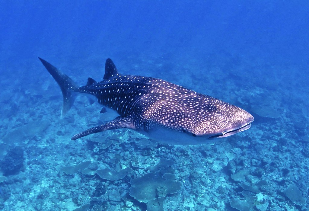 whale shark rhincodon typustop 10 most beautiful saltwat