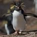Northern Rockhopper penguin on nightingale island