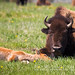 Tired Bison Cow and Calf