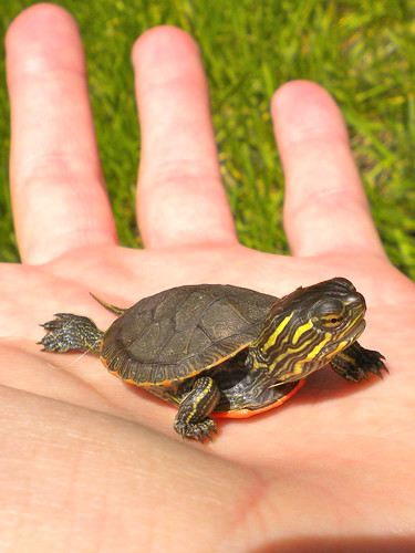 Baby painted turtle | by delicious_sandwich