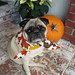 Festive Fall Pug+Thanksgiving