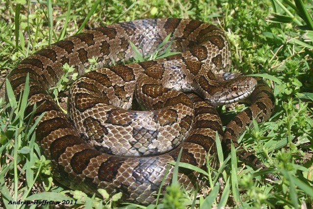 Lampropeltis calligaster calligaster (Prairie Kingsnake) | Flickr ...: https://www.flickr.com/photos/71701055@N00/5728529097