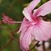 Hibiscus  [Olympus E520] [ Olympus Zuiko 70 300]