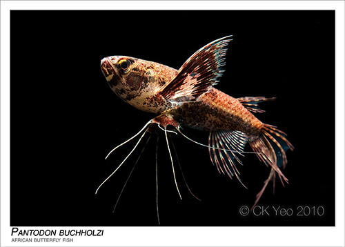 Pantodon buchholzi african butterfly fish flickr for Freshwater butterfly fish