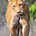Lioness carrying her newborn cub