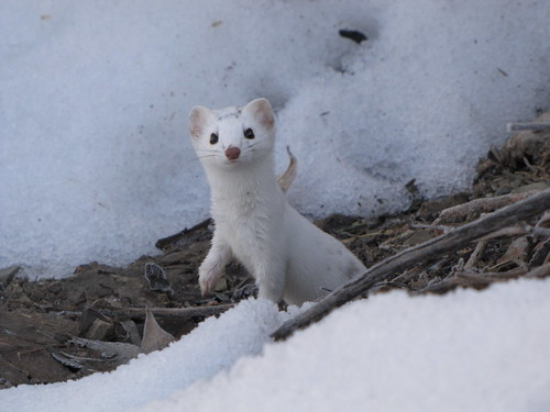 Snow Weasel Flickr Photo Sharing