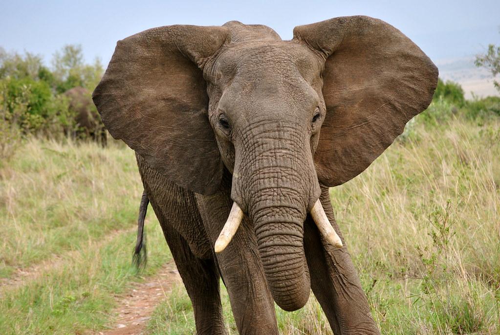 elephant ears.   elephant running the masai mara.   Brittany H ...