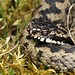Adder ..close up