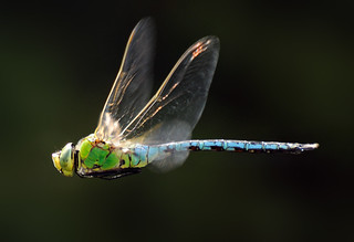 Emperor Dragonfly - Anax imperator | by Yagosan