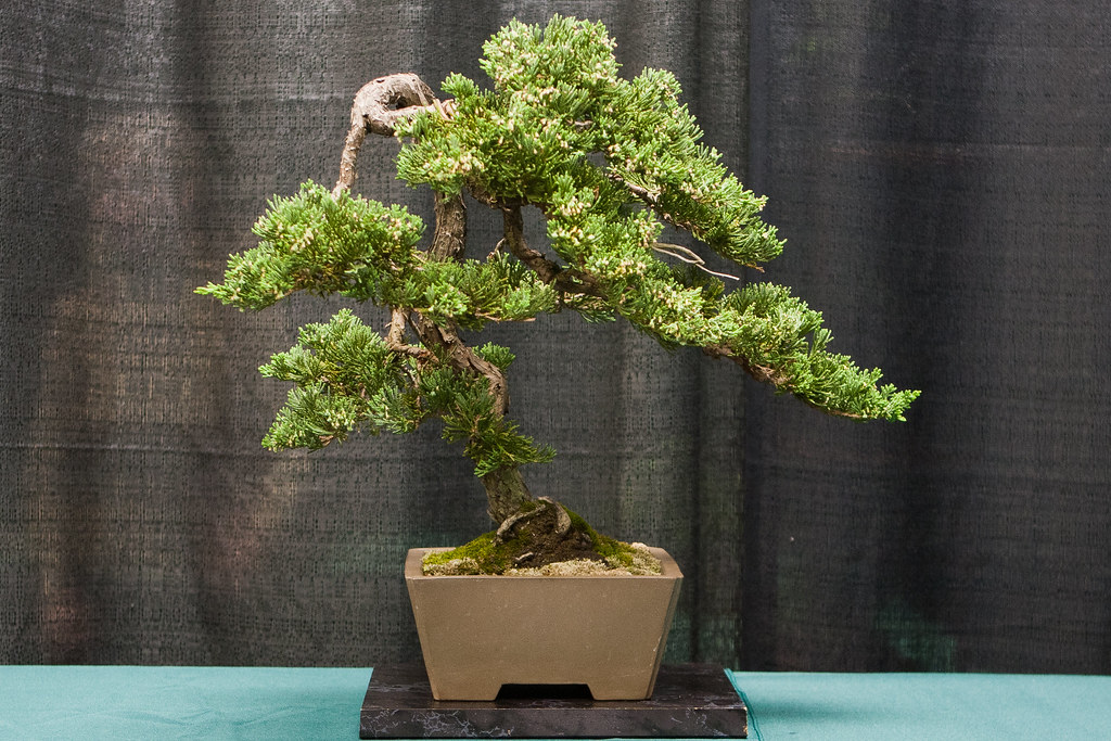 Blue Rug Juniper Bonsai 120