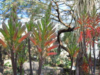 Aloe mudenensis | by Brooklyn Botanic Garden