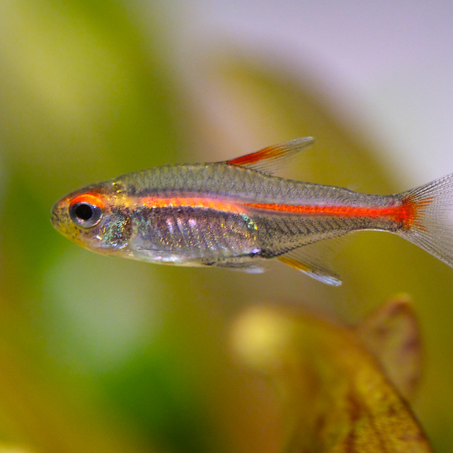 The gallery for --> Pregnant Glowlight Tetra