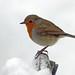 Merry Christmas 2010  - Robin