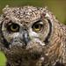 Juvenile Spotted Eagle-owl