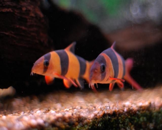 Clown loaches flickr photo sharing for Clown loach fish