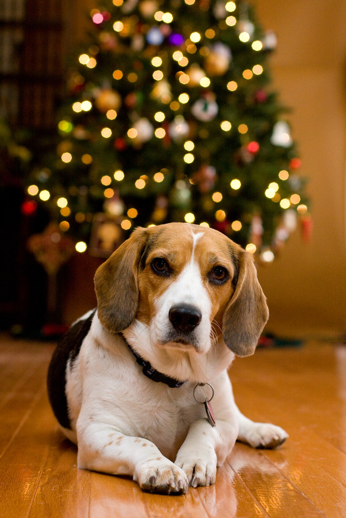 Christmas Beagle | Rich Terrell | Flickr