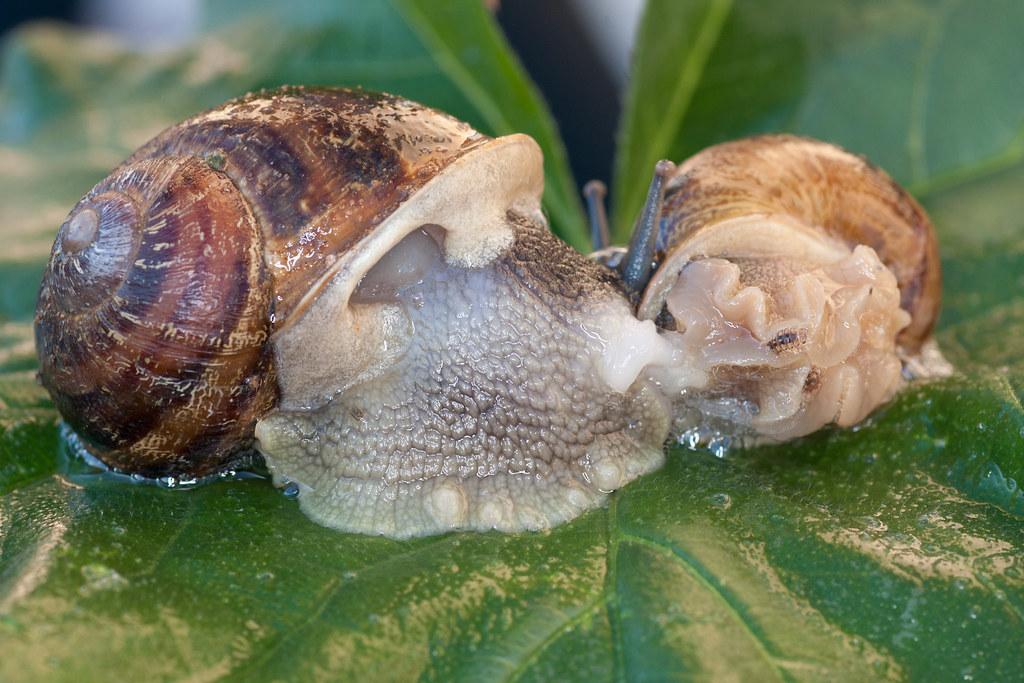 Reproducci n del caracol los caracoles son hermafroditas for Caracol de jardin