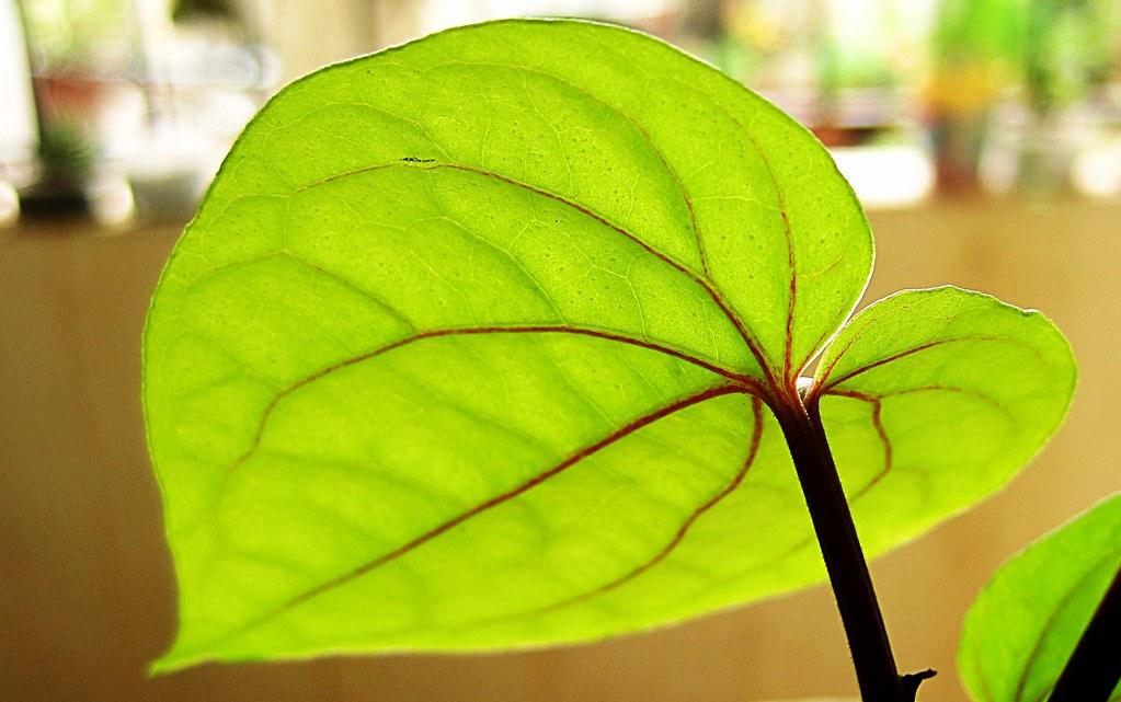 betel leaf  piper betle