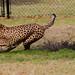 Cheetah Run 2