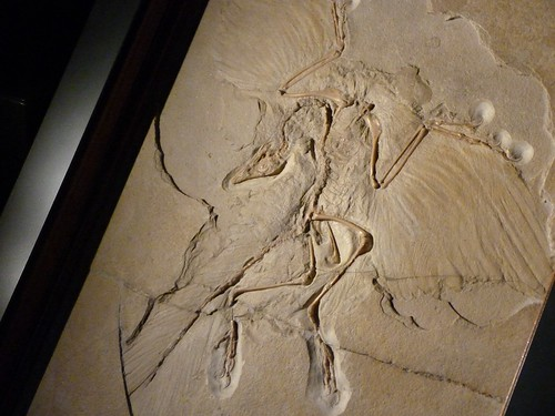 Archaeopteryx at Berlin MFN: Fossil Positive | by j3tdillo