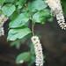 Virginia Sweetspire - Itea virginica