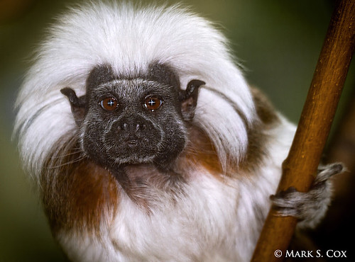 Aunty Entity (Cotton-Top Tamarin) | by mctuba
