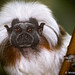 Aunty Entity (Cotton-Top Tamarin)