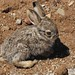 Baby Black-tailed Jackrabbit (Lepus californicus); Mt. Lemmon Road, S of Oracle, AZ