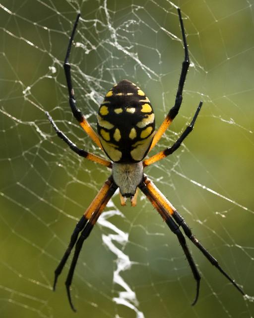 Black And Yellow Garden Spider Argiope Aurantia Flickr Photo Sharing
