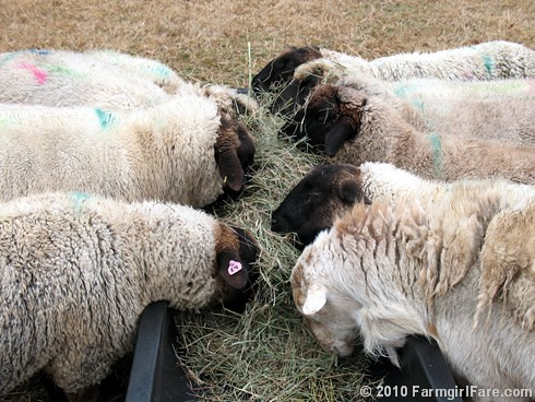 Hay Eating 1 | by Farmgirl Susan
