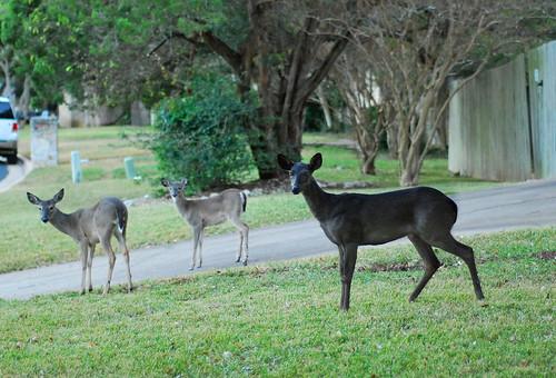 Melanistic Whitetail Deer black whitetail deer |...