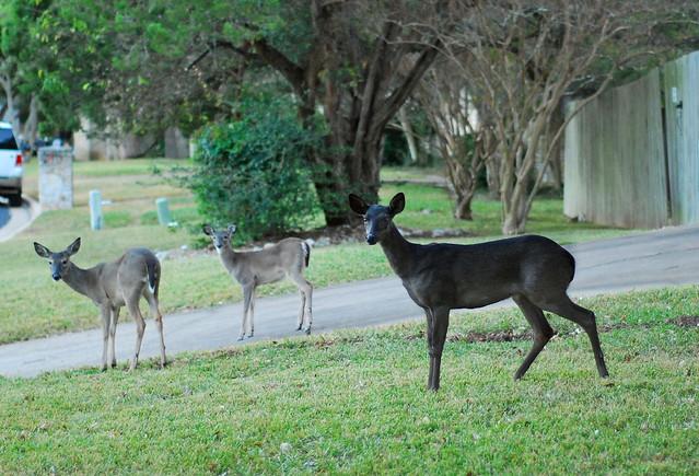 Melanistic Whitetail Deer black whitetail...