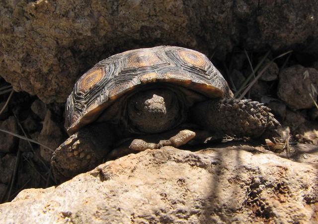 Baby Desert Tortoise (Gohperus agassizii); Galiuro ...