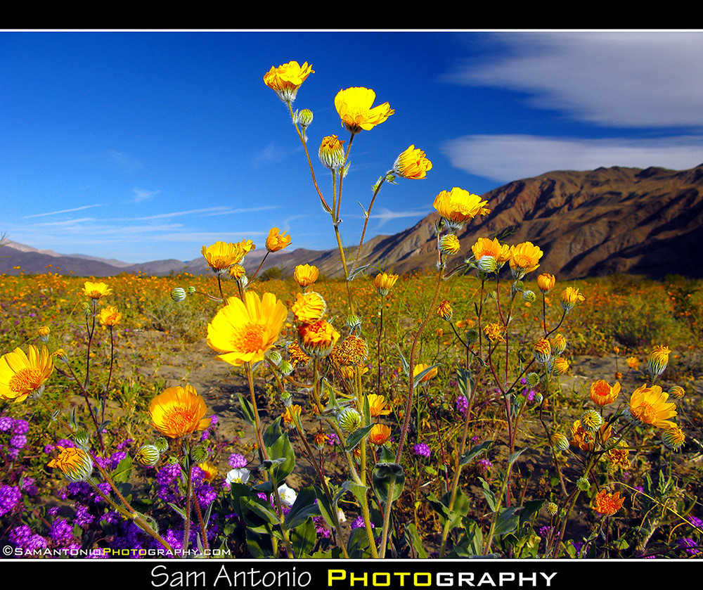 Into The Wild Desert Wildflowers Of Anza Borrego Just